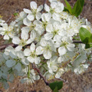 beachplum