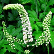 blackcohosh