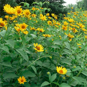 falsesunflower